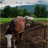 Vermont Arlington Horses 3 August 2009