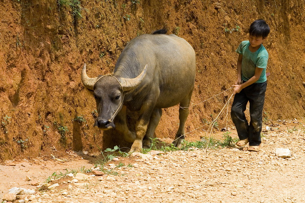 Boy walking with his buffalo - Sapa countryside, Vietnam '08