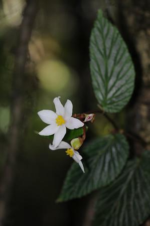 Begoniaceae
