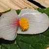 SAJ0486 Begonia calliantha