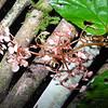 SAJ1323 Begonia pediophylla