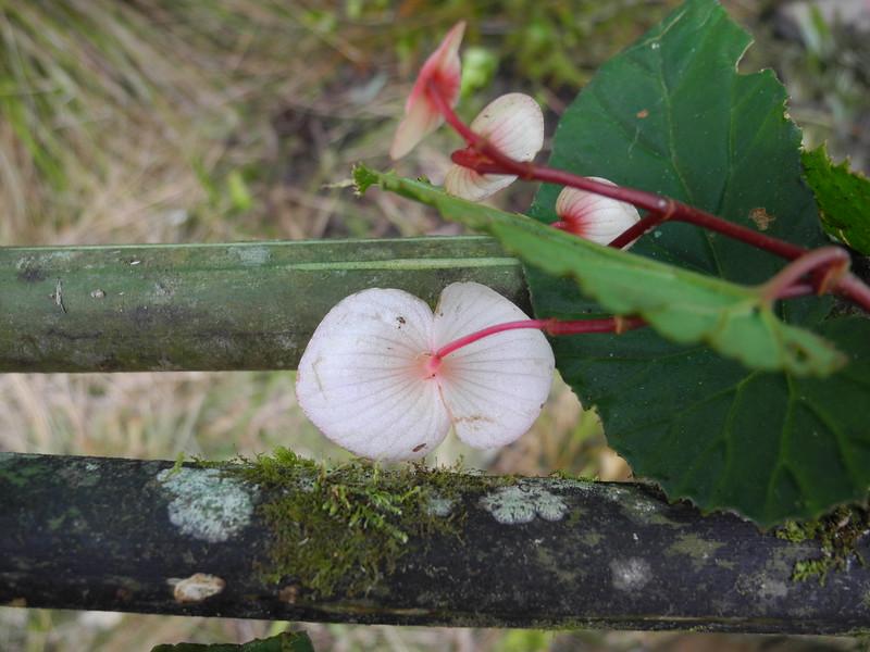 SAJ0629 Begonia cf. simulans