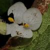 SAJ1412 Begonia cf. randiana