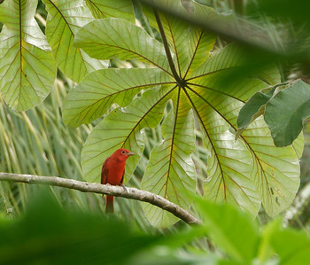 Summer Tanager ♂︎ (Piranga rubra)