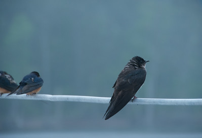 Barn Swallows (Hirundo rustica) and Purple Martin (Progne subis)