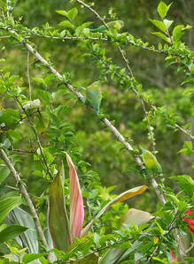 Well coloured Orange-chinned Parakeets