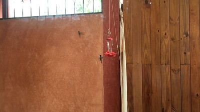 Video - Rufous-tailed Hummingbird courting at feeder