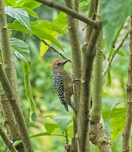 Another bad photo, this time a Red-crowned Woodpecker