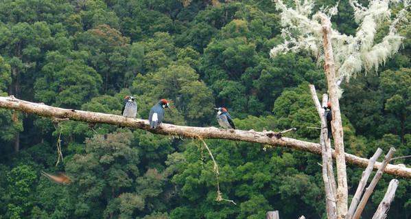 Bushel of Acorn Woodpeckers ♀︎♂︎♀︎♂︎ (Melanerpes formicivorus)