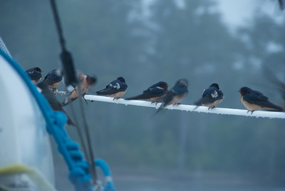 Barn (Hirundo rustica) and Tree Swallows (Tachycineta bicolor)