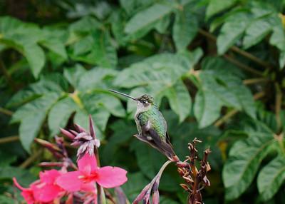 Talamanca Hummingbird (Eugenes spectabilis) female