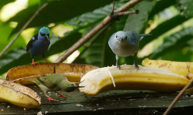 Red-legged Honeycreeper (♂︎ and head turned ♀︎) and Blue-gray Tanager