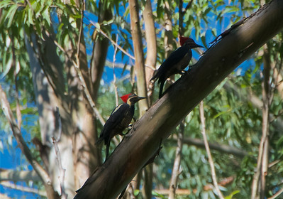 Lined up Lineated Woodpeckers