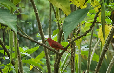 bad photo of Summer Tanager