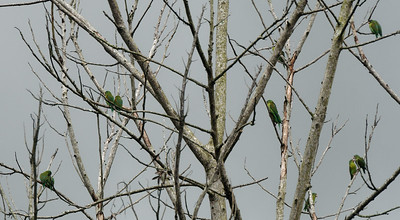 Orange-chinned Parakeets (Brotogeris jugularis)