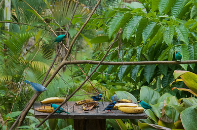 Red-legged Honeycreepers, Green Honeycreepers and Blue-gray Tanagers