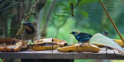 Buff-throated Saltator, 3 Golden-hooded Tanagers