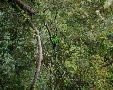 Resplendent Quetzal (Pharomachrus mocinno) male