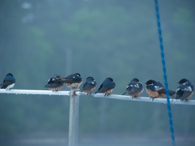 Tree (Tachycineta bicolor) and Barn Swallows (Hirundo rustica) roost overnight on lifelines