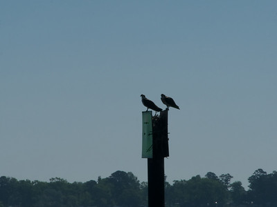 Studio apt for this Osprey pair