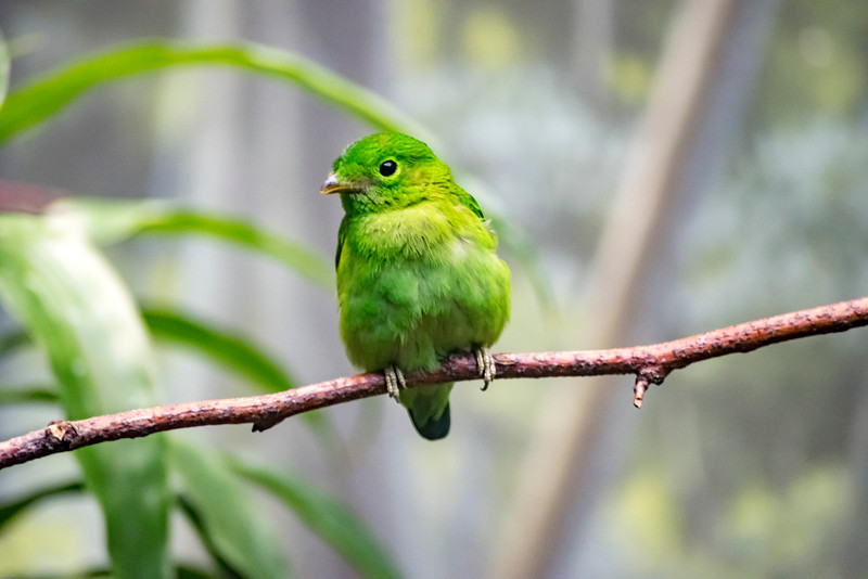 Female Green Broadbill