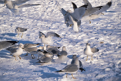 Ring-billed Gulls (Larus delawarensis)