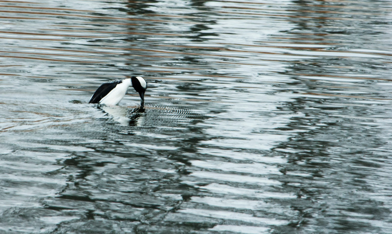 Looks like a Bufflehead diving