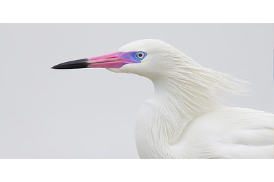 White Morph In Breeding Mode