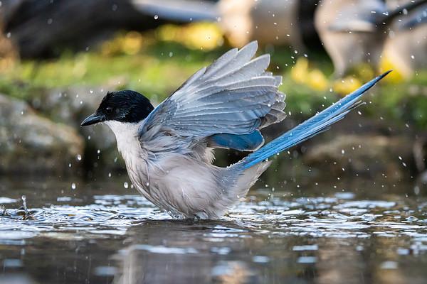 #sony #a7riv #sel200600g #bird #wildlife #closeup #IberianMagpie #magpie #bath