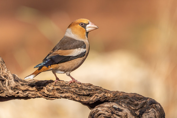 #sony #a7riv #sel200600g #bird #wildlife #portrait #closeup #Hawfinch
