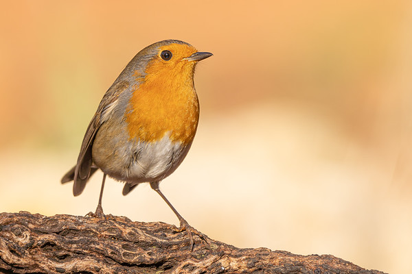 #sony #a7riv #sel200600g #bird #wildlife #portrait #closeup #EuropeanRobin #Robbin