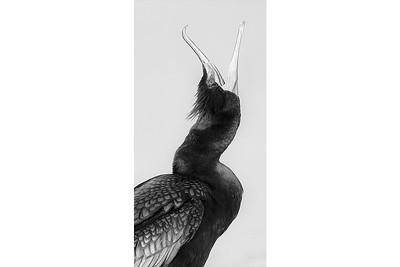 Cormorant Squawk B&W