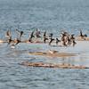 Common Sandpiper, Actitis hypoleucos,  Drillsnäppa and Sanderling, Calidris alba, Sandlöpare; Fårö 2011-09-29