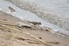 Common Sandpiper, Actitis hypoleucos, Drillsnäppa