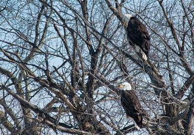 American Bald Eagles on a tree