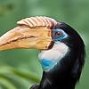 Blythe Hornbill