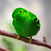 Green Broadbill, Male