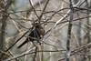 Common Blackbird, Turdus merula, Koltrast