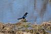 Common Magpie, Pica pica, Skata
