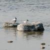 Little Tern, Sternula albifrons, Småtärna, Common Tern, Sterna hirundo, Fisktärna