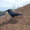 Corvus corax, Korp, Common Raven