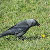 Corvus monedula, Kaja, Western Jackdaw