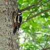Dendrocopos major, Större hackspett, Great Spotted Woodpecker