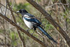 Eurasian Magpie, Pica pica, Skata