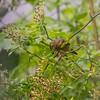 European Robin (Rödhake, Erithacus rubecula)