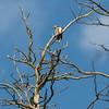 Great Spotted Woodpecker (Större Hackspett, Dendrocopos major)