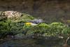 Grey Wagtail, Motacilla cinerea, Forsärla
