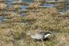 Greylag Goose, Anser anser, Grågås