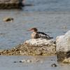 Red-breasted Merganser, Mergus serrator, Småskrake