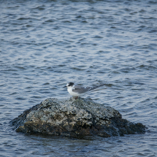 Sterna hirundo, Fisktärna, Common Tern